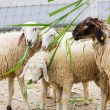 Feeding sheep — Stock Photo