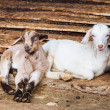Young goats in farm — Stock Photo