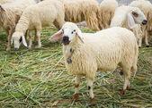 White sheep — Stock Photo