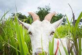 Koza jíst trávu — Stock fotografie