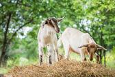 小山羊 — 图库照片