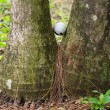 Golf ball stuck between two palm trees — Stock Photo
