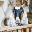 Goat in farm — Stock Photo