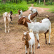 Goats in farm — 图库照片