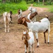 Goats in farm — Stockfoto