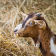 Young goat in farm — Stock Photo