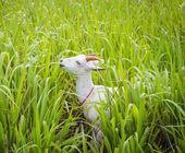 козы едят траву — Стоковое фото