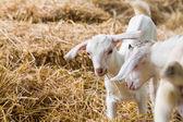 Mladé kozy na farmě — Stock fotografie