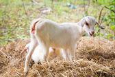 Goat in farm — Stock Photo