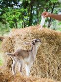 коза в ферме — Стоковое фото