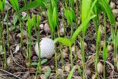 Golf ball stuck in palm seedlings — Stock Photo