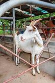 Goat in farm — Foto Stock