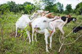 Kozy na farmě — Stock fotografie