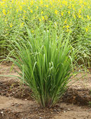 Lemon grass — Stock Photo