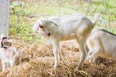 Mladí kozí farmě — Stock fotografie