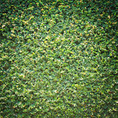 Vignette style Ficus pumila leaves background — Stock Photo