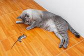 Gato mata rato — Fotografia Stock