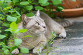 Thai cat — Stock Photo