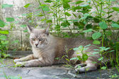 Thai cat — Stockfoto