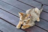 Thai kitten — Foto Stock