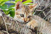 Thai small kitten — Stock Photo