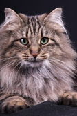 Portrait of Norwegian female cat — Stock Photo