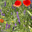 Stock Photo: Poppies in flowery meadow