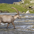 Portrait of adult ibex in the Alps - Stock Photo