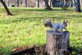 Белка. Squirrel — Stock Photo