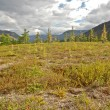 Rare larch in the tundra. - Stock Photo