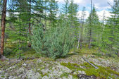 Siberian dwarf pine in deciduous taiga Yakutia. — Stock Photo