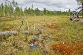 Waterlogged edge of the larch taiga in Yakutia. — Stock Photo