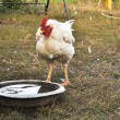 Chicken in yard. — Stock Photo #40977919