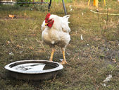 Chicken in the yard. — Stock Photo