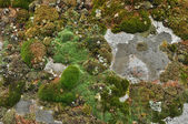 Saxifrage. Sparse vegetation of Yakutia. — Foto Stock