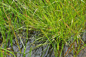The grass in the water. — Stock Photo