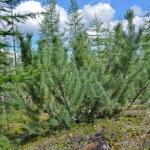 Постер, плакат: Siberian dwarf pine in deciduous taiga Yakutia