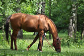 Horse in a forest glade.  — Стоковое фото