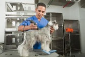 Schnauzer care — Foto Stock