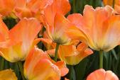 оранжевый тюльпан — Стоковое фото
