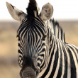 Close-up of a Burchell's zebra — Stock Photo