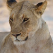 Close-up of a young male lion — Stock Photo