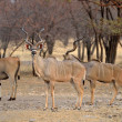 Male Greater Kudu — Stock Photo