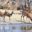 Black-faced impalas drinking — Stock Photo