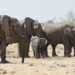 Herd of african elephants in the savannah — Stock Photo