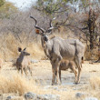 Greater kudu bull with calves — Stock Photo