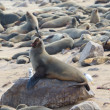 Stock Photo: Cape fur seal