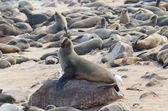 Cape fur seal — Stock Photo