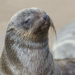 Stock Photo: Wet brown fur seal pup