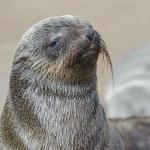 Wet brown fur seal pup — Stock Photo